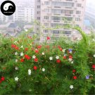 Buy Quamoclit Pennata Flower Seeds 120pcs Plant Vine Flower Quamoclit Pennata