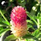Buy Gomphrena Globosa Flower Seeds 360pcs Plant Gomphrena Globosa Flower Garden
