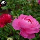 Buy Ranunculus Asiaticus Flower Seeds 80pcs Plant Flower Ranunculus Garden