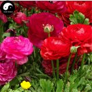 Buy Ranunculus Asiaticus Flower Seeds 320pcs Plant Flower Ranunculus Garden