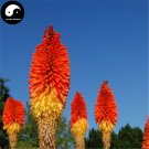 Buy Common Torch Lily Flower Seeds 160pcs Plant Flower Kniphofia Uvaria Garden