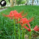 Buy Red Spider Lily Flower Seeds 120pcs Plant Flower Lycoris Radiata Garden