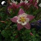 Buy Aquilegia Viridiflora Flower Seeds 100pcs Plant Aquilegia Viridiflora Flower