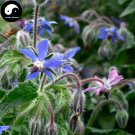 Buy Borage Flower Seeds 90pcs Plant Borago Officinalis Flower Garden