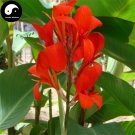 Buy Canna Indica Flower Seeds 240pcs Plant Canna Lily Flower Garden