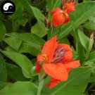 Buy Canna Indica Flower Seeds 60pcs Plant Canna Lily Flower Garden