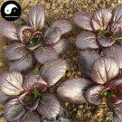 Buy Purple Leaf Brassica Chinensi Vegetable Seeds 200pcs Plant Vegetable Brassica Chinensi
