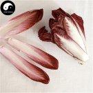 Buy Chicory Vegetables Seeds 300pcs Plant Cichorium Intybus Vegetable