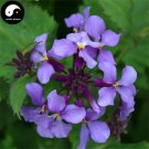 Buy Orychophragmus Violaceus Vegetables Seeds 300pcs Plant Wild Vegetable Zhu Ge Cai