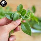 Buy Coral Dealbatus Vegetables Seeds 150pcs Plant Wild Vegetable Calcium Herb Andrographis