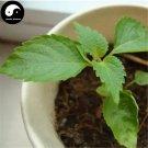 Buy Perilla Herb Vegetables Seeds 150pcs Plant Wild Vegetable Green Leaf Basil
