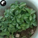 Buy Sedum Aizoon Herb Vegetables Seeds 100pcs Plant Wild Vegetable High Calcium