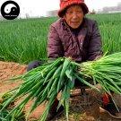 Buy Allium Ascalonicum Seeds 800pcs Plant Spices Vegetables Onion Shallot