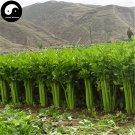 Buy Celery Seeds 800pcs Plant Spices Vegetables Apium Graveolens Qin Cai
