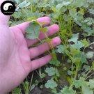 Buy Cilantro Seeds 200pcs Plant Spices Vegetables Parsley Coriandrum Sativum