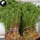 Buy Purple Cilantro Seeds 800pcs Plant Spices Vegetables Parsley Coriandrum Sativum