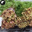 Buy Purple Cilantro Seeds 200pcs Plant Spices Vegetables Parsley Coriandrum Sativum