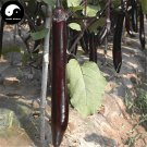 Buy Purple Long Eggplant Vegetable Seeds 300pcs Plant Eggplant Vegetables Solanum Melongena