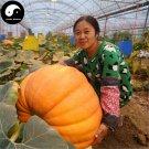 Buy Huge Pumpkin Seeds 15pcs Plant Diabetes Vegetable Melon Cucurbita Moschata