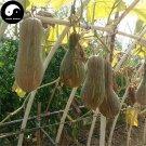 Buy Honey Pumpkin Seeds 60pcs Plant Diabetes Vegetable Melon Cucurbita Moschata