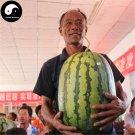 Buy Watermelon Fruit Seeds 100pcs Plant Citrullus Lanatus Big King Watermelon