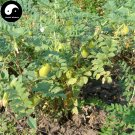 Buy Cicer Arietinum Beans Vegetable Seeds 120pcs Plant Chinese Chickpea King Beans
