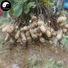Buy Black Peanut Fruit Seeds 120pcs Plant Chinese Earth Bean Groundnut Arachis Hypogaea
