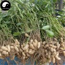 Buy White Peanut Fruit Seeds 120pcs Plant Chinese Earth Bean Groundnut Arachis Hypogaea