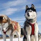 Siberian Husky Art Poster Decor