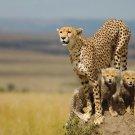 Cheetah Art Animal Art 32x24 Poster Decor