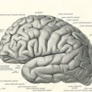 Vintage 1800 S Human Brain Surgical Anatomy Wall Print POSTER Decor 32x24