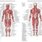 Human Body Anatomical Chart Muscular System Wall Print POSTER Decor 32x24