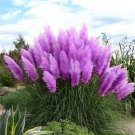 Purple Pampas Grass Seeds Ornamental home garden bonsai pot Plants 600PCS
