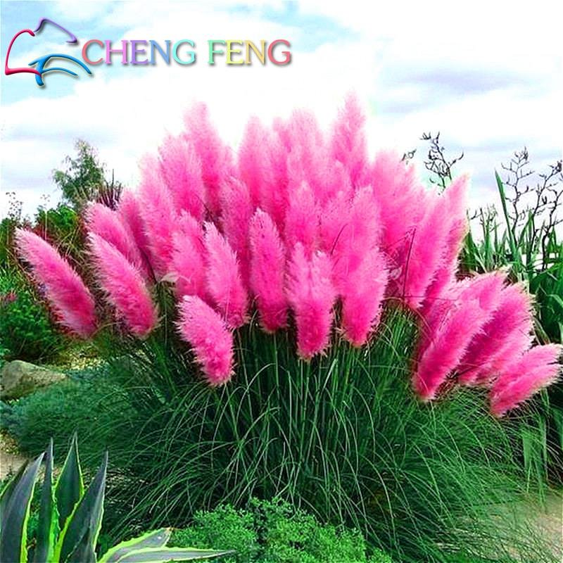 200 Pcs Pampas Grass Seeds Patio And Garden Potted Ornamental Plants New Flowers