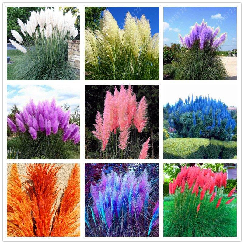 1200 PCS/package PAMPAS GRASS seeds ,rare reed flower seeds, Selloana Garden decoration DIY!