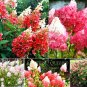50pcs/bag Vanilla Strawberry Hydrangea Flower Seeds for Planting Flower Bonsai Hydrangea Macrophylla