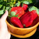 300/bag Giant Strawberry Seeds, Rare, Big as a Peach, Fragaria ananassa L. Maximus Strawberry