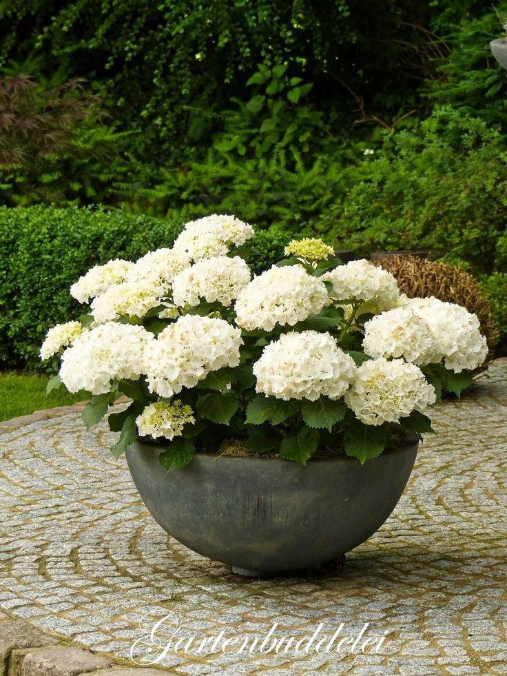 100 pcs/bag White Hydrangea Flower seeds, lasting, gorgeous balcony or yard flower plant