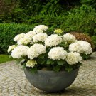 100 pcs/bag White Hydrangea Flower seeds, lasting, gorgeous balcony or yard flower plant