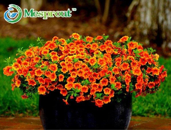 Petunia seeds, Charming Petunia Flower seeds, Petunia potted seed, Bonsai balcony flower 100 pcs/bag