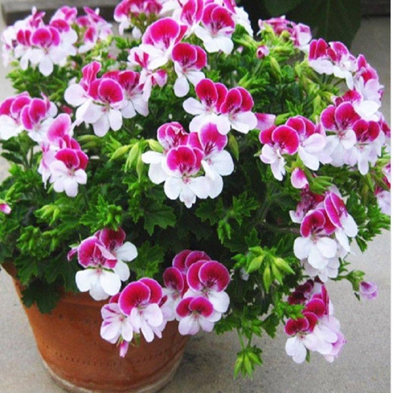 Two-color Red White Univalve Geranium, Perennial Flower, Pelargonium Peltatum Indoor 10 seeds