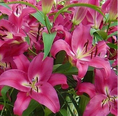 Specials vary color Heart Lily Plant Seeds Potted Bonsai Plant Lily Flower, Home Garden 10 seeds