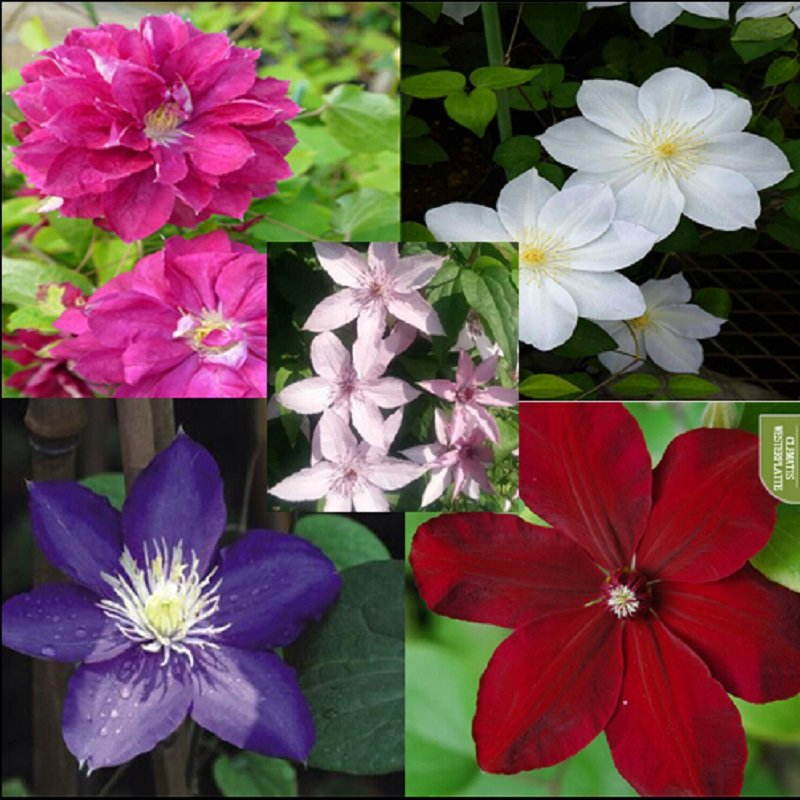 free ship Vine Clematis potted clematis garden flowers, the clematis 40 seeds