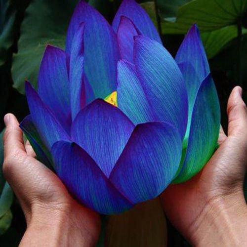 Flower seeds Blue Lotus Seeds Aquatic plants Water Plants Midnight Blue Lotus 10pcs AA