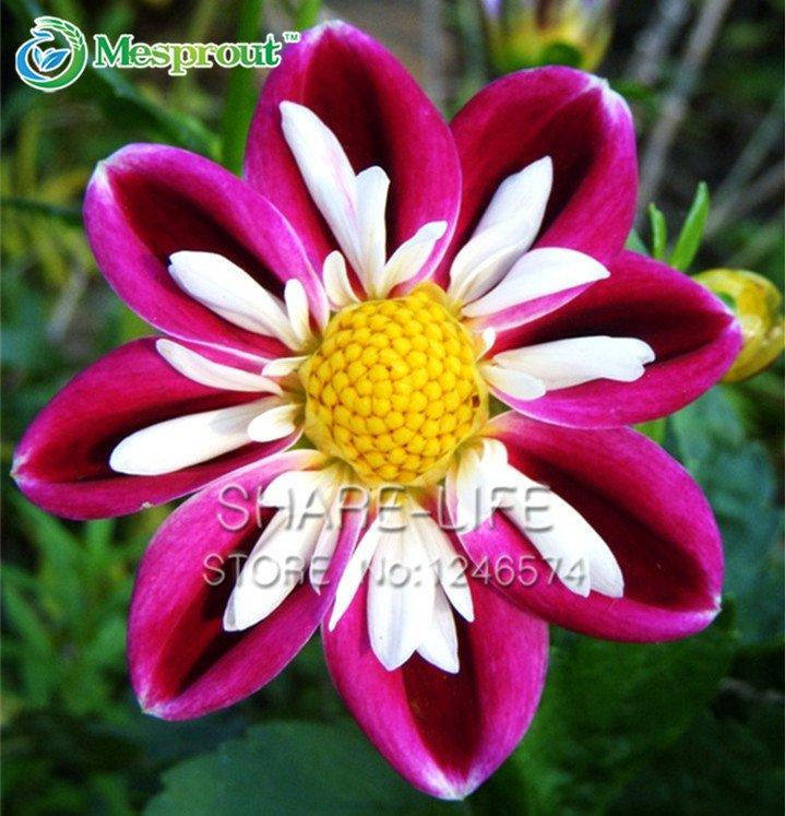Rare Red and White Point Dahlia Seeds Beautiful Perennial Flowers Dahlia, DIY Home Garden 50PCS