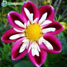 Rare Red and White Point Dahlia Seeds Beautiful Perennial Flowers Dahlia, DIY Home Garden 50PCS