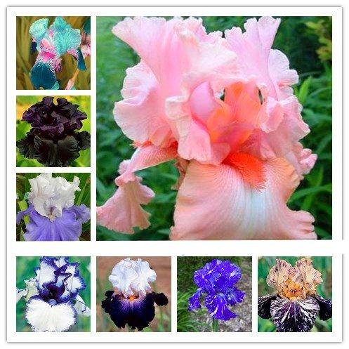 100pcs iris seeds, Iris orchid seeds, Rare Heirloom Tectorum Perennial Flower Seeds