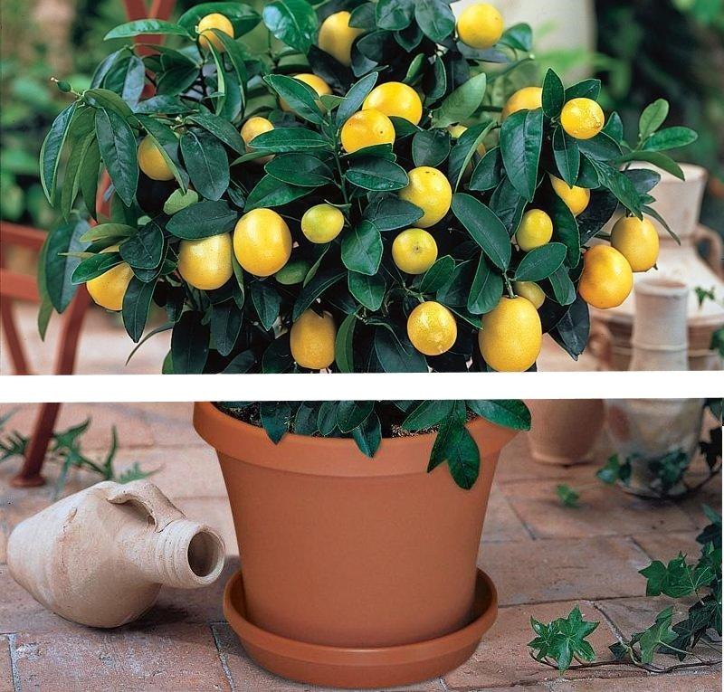 1bag=20 pcs bonsai lemon tree seeds NO-GMO fruit lemon seeds for home garden planting