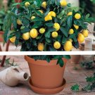 1bag=20 pcs bonsai lemon tree seeds NO-GMO fruit lemon seeds for home garden planting