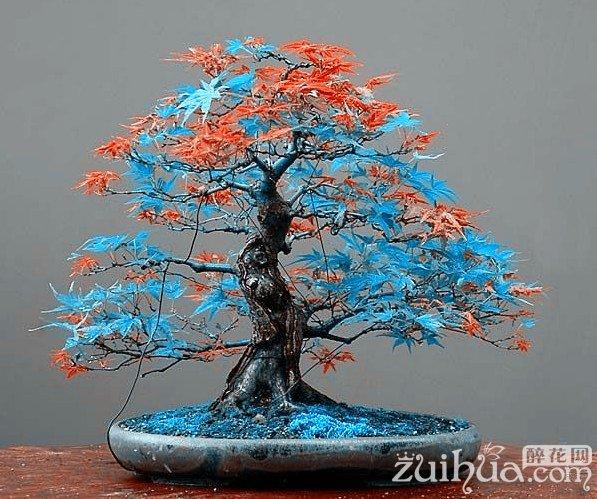 20 pcs Rare blue maple Seeds Bonsai Tree Plants Pot Suit for DIY home garden Japanese maple seeds